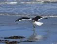 Gull_Kelp_2009-06-09_3