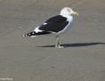Gull_Kelp_2009-06-12