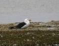 Gull_Pacific_2004-12-10_1