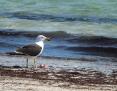 Gull_Pacific_2012-10-14