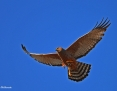 Harrier_Spotted_2014-10-04