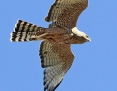 Harrier_Spotted_2014-10-09_1