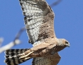 Harrier_Spotted_2014-10-09_2