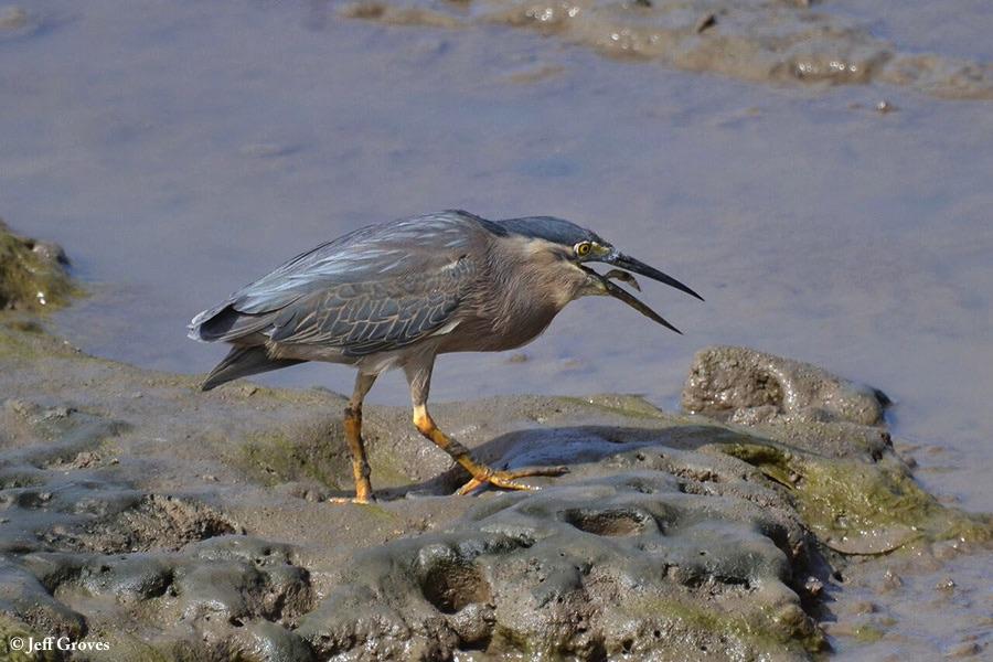 Heron_Striated_2012-08-16