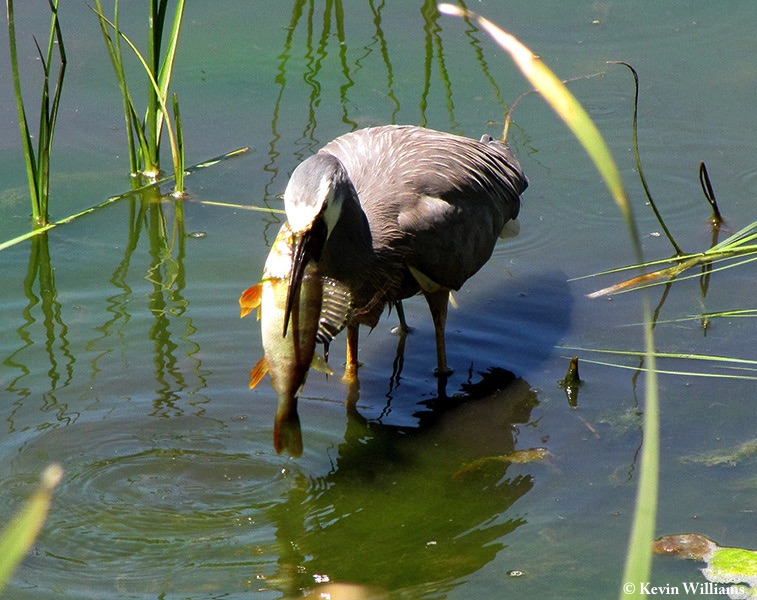 Heron_Whitefaced_2009-12-14_1