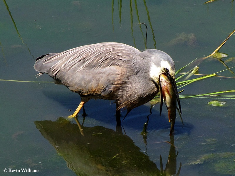 Heron_Whitefaced_2009-12-14_2