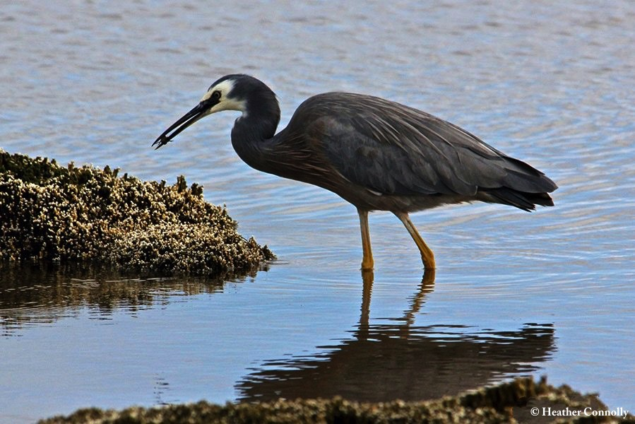 Heron_Whitefaced_2014-02-25