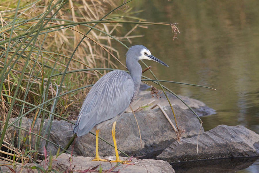 Heron_Whitefaced_2015-06-06_1