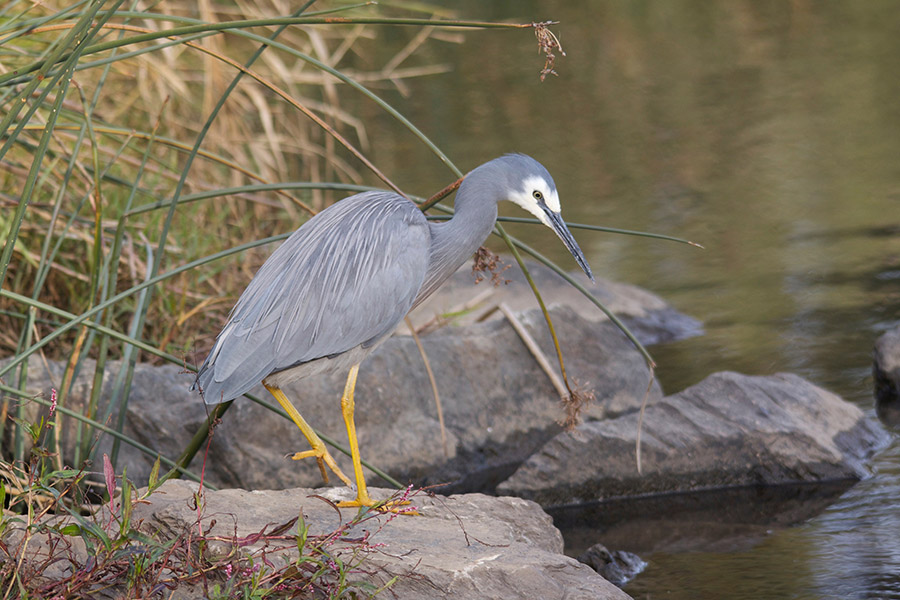 Heron_Whitefaced_2015-06-06_2