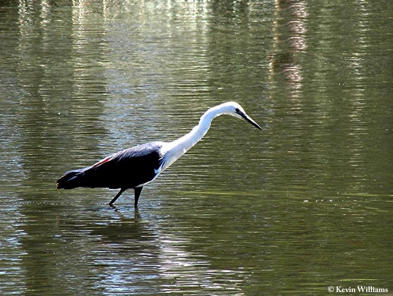 Heron_Whitenecked_2011-12-02_2