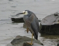 Heron_Whitefaced_2006-07-14
