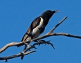 Honeyeater_Black_2013-10-08