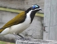 Honeyeater_Bluefaced_2012-02-19