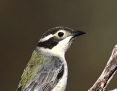 Honeyeater_Brownheaded_2010-08-30