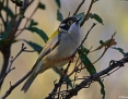 Honeyeater_Brownheaded_2014-06-26