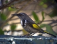 Honeyeater_Crescent_2007-10-02