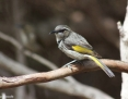 Honeyeater_Crescent_2015-10-30