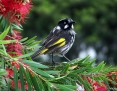 Honeyeater_New_Holland_2004-11-11