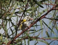 Honeyeater_New_Holland_2010-07-28