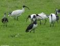 Ibis_Straw_necked_Ibis_Australian_White_Ibis_2012_06-04