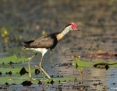 Jacana_Combcrested_2013-10-03_1