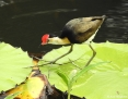 Jacana_Combcrested_2016-08-21