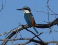 Kingfisher_Redbacked_2013-08-13