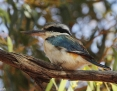 Kingfisher_Redbacked_2013-10-05_1