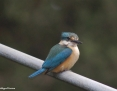 Kingfisher_Sacred_2011-10-29_1