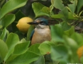 Kingfisher_Sacred_2011-10-29_2