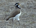 Lapwing_Banded_2017-04-15_2