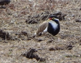 Lapwing_Banded_2017-04-15_3