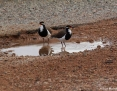 Lapwing_Banded_2017-04-22_1