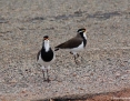 Lapwing_Banded_2017-04-22_2