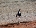 Lapwing_Banded_2017-04-22_3