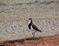 Lapwing_Banded_2017-04-22_4