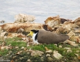 Lapwing_Masked (Spur-winged Plover)_2012-09-08