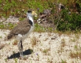 Lapwing_Masked (Spur-winged Plover)_2012-10-12_2