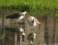 Lapwing_Masked (Spur-winged Plover)_2013-05-26