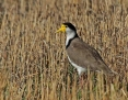 Lapwing_Masked (Spur-winged Plover)_2014-02-23