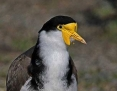 Lapwing_Masked (Spur-winged Plover)_2014_08_02