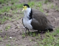 Lapwing_Masked (Spur-winged Plover)_2015-08-01