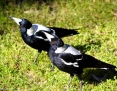 Magpie_Australian_2012-09-25