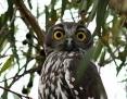 Owl_Barking_2013-03-31_1