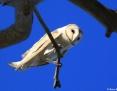 Owl_Eastern_Barn_2011-11-14
