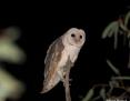Owl_Eastern_Barn_2012-08-13