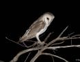 Owl_Eastern_Barn_2014-11-11