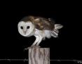 Owl_Eastern_Barn_2014-11-30