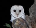 Owl_Eastern_Barn_2014-12-13
