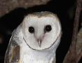 Owl_Eastern_Barn_2015-01-27